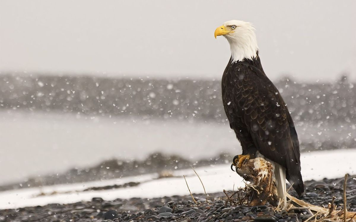 What Do Eagles Do When it Snows?